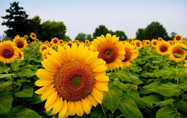 阴天里的向日葵什么梗?内涵段子阴天里的向日葵意思介绍[多图]